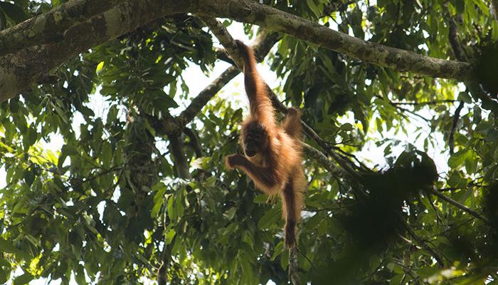 Rainforest Trust Orangutan