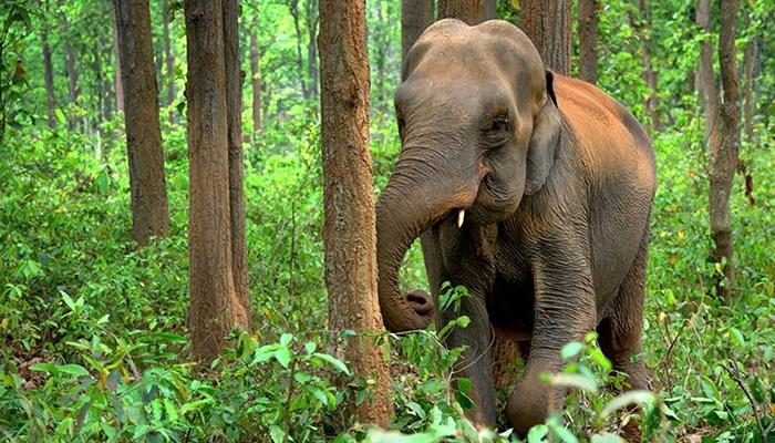 Rainforest Trust Elephant